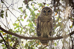 Barred owl. In a tree limb Royalty Free Stock Photography