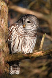 Barred owl in tree looking at photographer Royalty Free Stock Photos