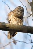 Barred owl in a tree Royalty Free Stock Images