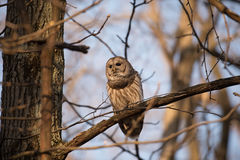 Barred owl in a tree. Barred owl perched in a tree at sunrise and calling in the woods in midwest United States stock photo