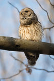 Barred owl in a tree Royalty Free Stock Photos