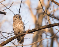 Barred owl in a tree Stock Photography