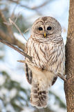 Barred owl Royalty Free Stock Image