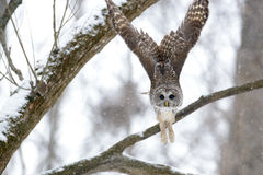 Barred owl in a tree Stock Images