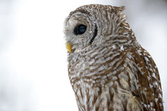 Barred owl in a tree Stock Photos