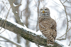Barred owl in a tree Royalty Free Stock Photo