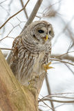 Barred owl in a tree Stock Image