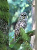 Barred Owl Between Trees Royalty Free Stock Photos