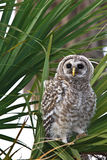 Barred owl waiting for its parents to feed it. A barred owl still in down feathers looking forward Stock Image