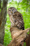Barred Owl. That was stunned being hit by a car. Took photos before releasing to wild after rehabilitation Stock Images