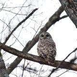 Barred owl Stock Image