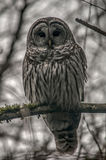 Barred owl in the woods. Barred owl staring at the camera, Ladner, British Columbia Stock Images