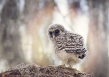 Barred Owlet  on a Branch Royalty Free Stock Image