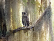Barred Owlet Perches on a Branch Royalty Free Stock Photography