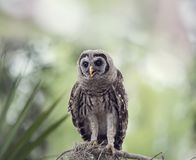 Barred Owlet Perches on a Branch. Young Barred Owl Perches on a Branch Royalty Free Stock Images