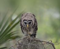 Barred Owlet Perches on a Branch. Young Barred Owl Perches on a Branch and feed on a caterpillar Stock Photos