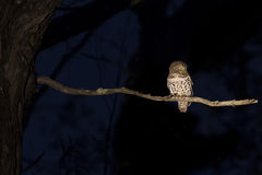 Barred owlet sitting on a branch in darkness. Barred owlet sitting on a branch in the darkness Stock Image
