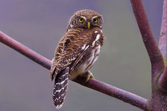 Barred Owlet. On the tree Stock Images