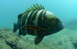 Barred pargo fish underwater in pacific ocean Stock Images