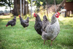 Barred Rock Chickens Stock Photography
