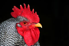 Barred Rock Rooster. Closeup, bird,chicken Stock Images