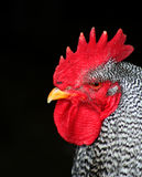 Barred Rock Rooster. Closeup,chicken,bird Stock Photography