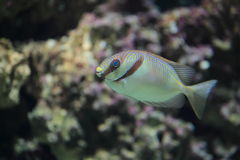 Barred spinefoot. The barred spinefoot (Siganus doliatus stock photo