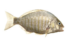 Barred surf perch. Fresh caught barred surf perch isolated on white Stock Photo
