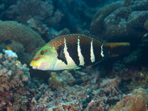 Barred thicklip. In Bohol sea, Phlippines Islands stock image