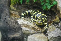 Barred Tiger Salamander on the Prowl Royalty Free Stock Images