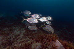 Barred trevally (carangoides ferdau) in the Red Sea. Stock Photo