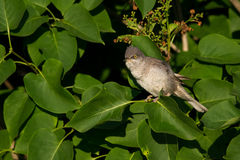Barred Warbler Royalty Free Stock Images