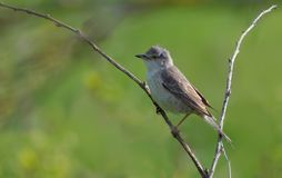 Barred warbler perched on a tiny spiky twig royalty free stock photo