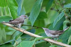 The barred warbler Sylvia nisoria male and female both. On the tree royalty free stock images
