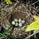 Barred Warbler, Sylvia nisoria. Nest Stock Images