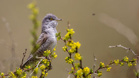 Barred Warbler Stock Photo