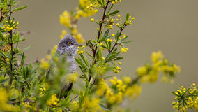 Barred Warbler Royalty Free Stock Photo