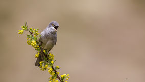 Barred Warbler Royalty Free Stock Photos