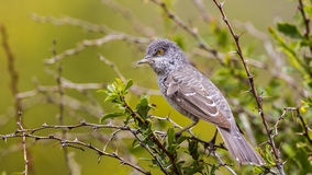 Barred Warbler. (Sylvia nisoria) is perchingon shrubbery stock photography