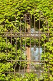 Barred window. Grown with ivy Royalty Free Stock Images