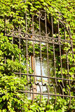 Barred window. Grown with ivy Stock Photo