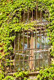 Barred window. Grown with ivy Royalty Free Stock Image