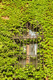 Barred window. Grown with ivy Stock Image