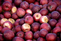 Barrel of Apples. In Orchard Stock Image
