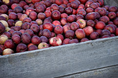 Barrel of Apples. In Orchard Stock Photography