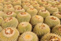 Barrel cacti. Full frame take of a barrel cactus plantation, also known as mother in law´s cushion royalty free stock images