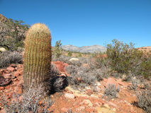 Barrel cactus. Single barrel cactus growing in the desert of Red Rock Canyon National Conservation Area in Nevada, just outside Las Vegas stock photography