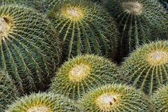 Barrel Cactus. A group of barrel cactus in the Arizona sun stock images