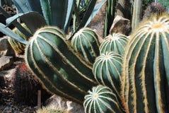 Barrel Cactus. A grouping of barrel cactus stock photo