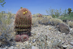 Barrel cactus. In desert, boulder, nevada royalty free stock photography